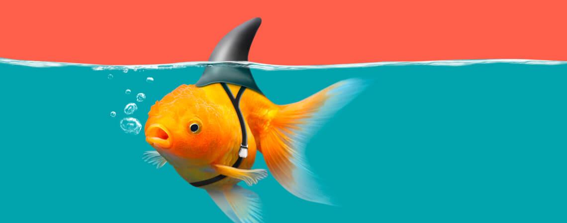 Goldfisch mit Haiflosse