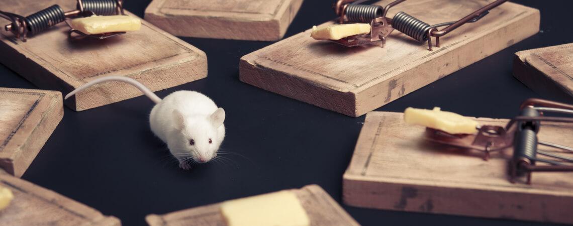 Maus, die von Falle mit Käse umgeben ist