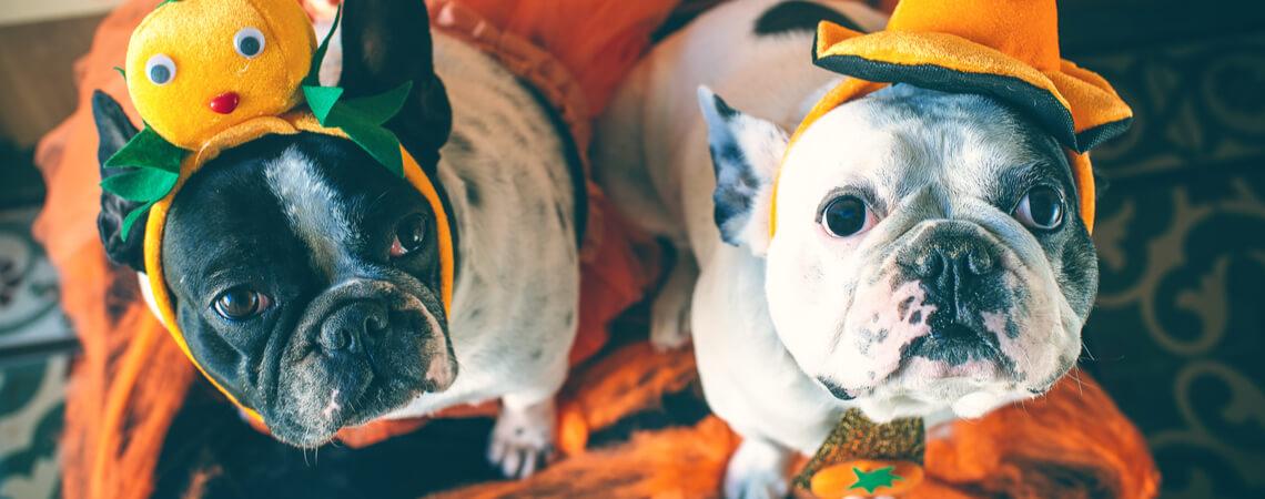 Bulldoggen in Halloween-Kostümen