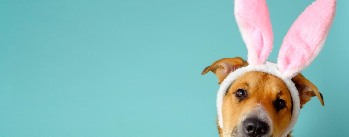 Hund mit Hasenohren
